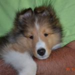 Kuzhill Shelties – Wisconsin Sheltie Breeder
